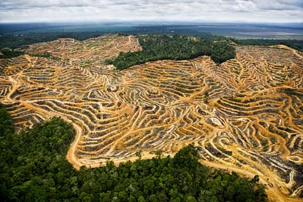 Palm Oil plantation removes virgin forest.